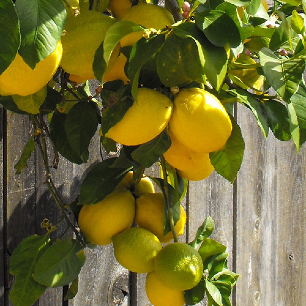 Expert useful information on growing indoor citrus for Can i grow a lemon tree from lemon seeds