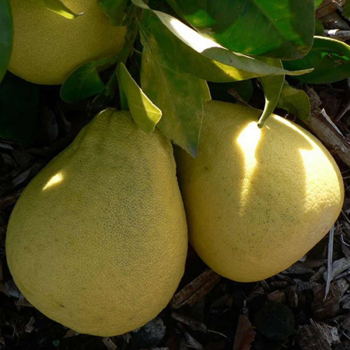 lemoncitrustrees grapefruit trees, Natural flower