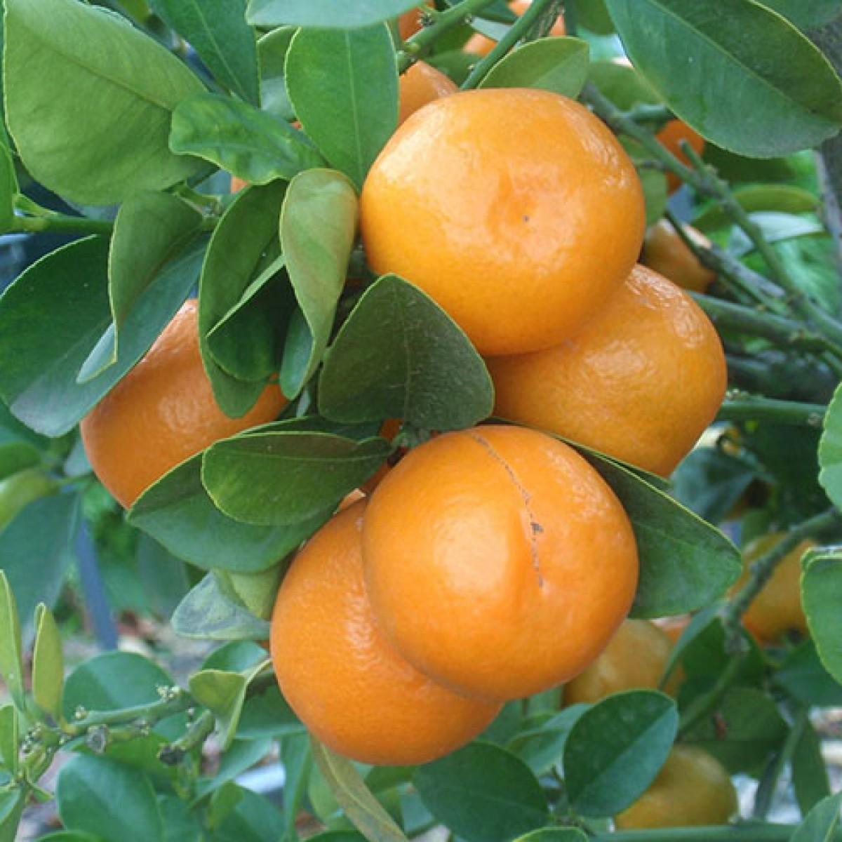2 3 year old meiwa kumquat tree for Plante kumquat