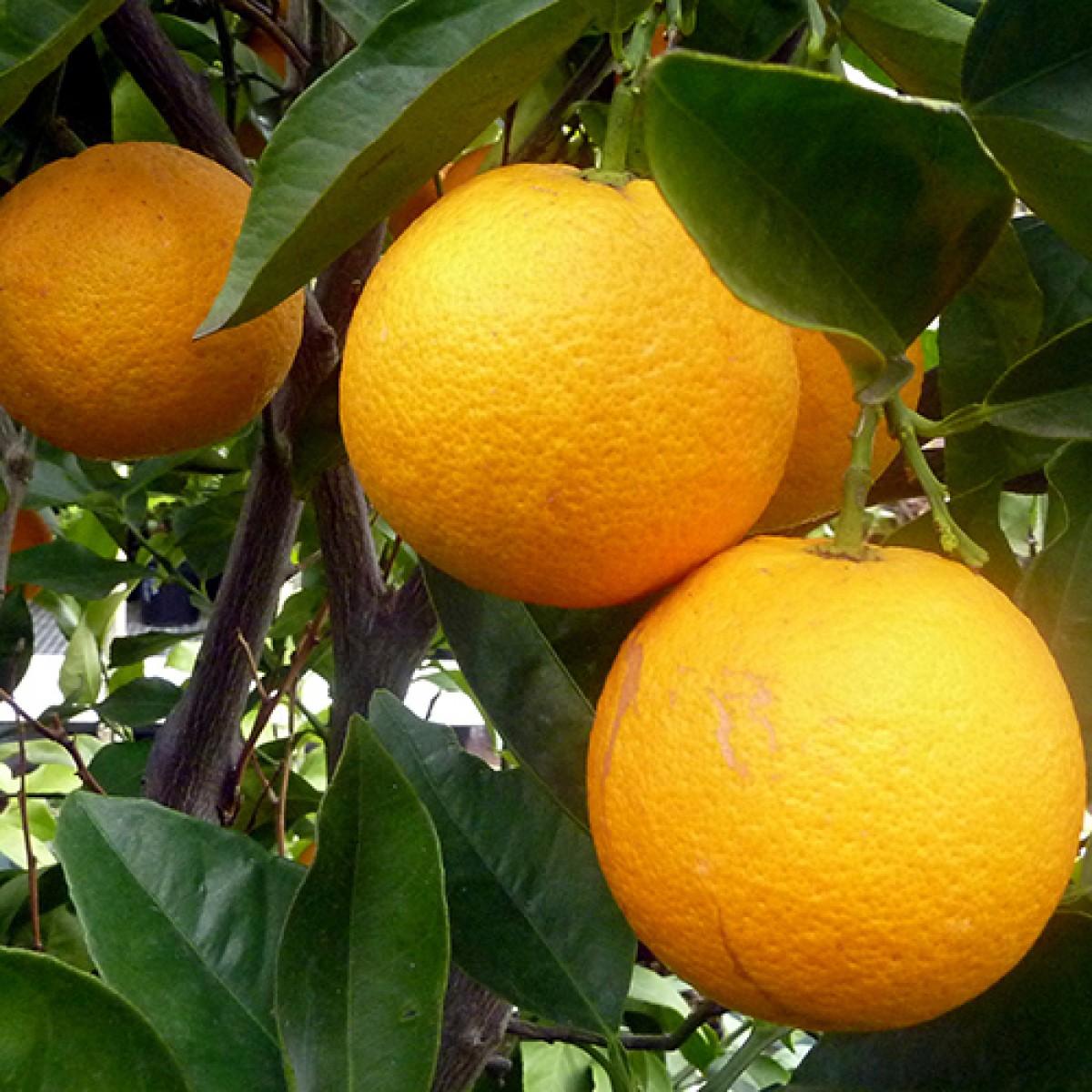 2-3 Year Old Cara Cara (Red Navel) Orange Tree