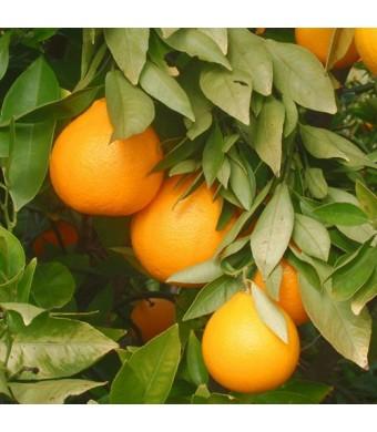 Amber Sweet Orange Tree