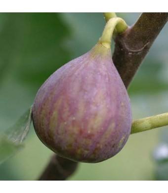 Celeste Fig Tree