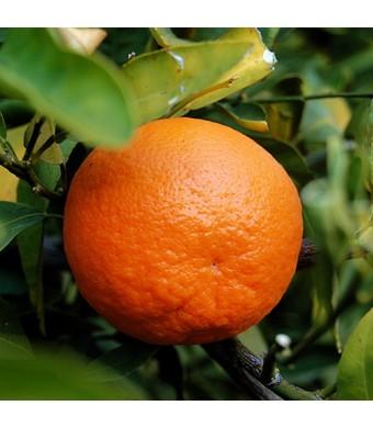 Dancy Tangerine Tree