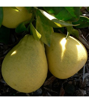 Pumello HB (Pink Grapefruit) Tree