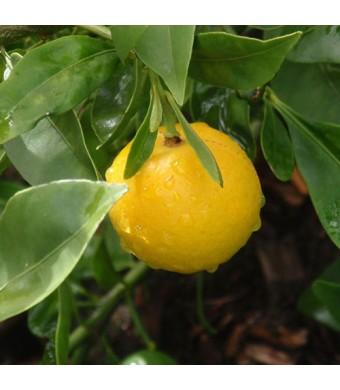 Lemonquat Tree