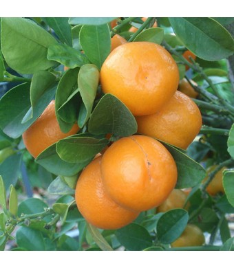 Meiwa Kumquat Tree
