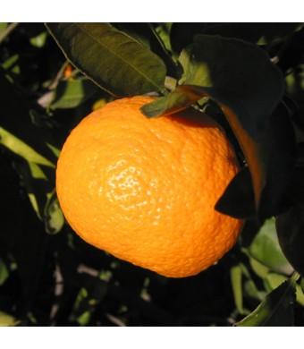 Owari Satsuma Orange Tree
