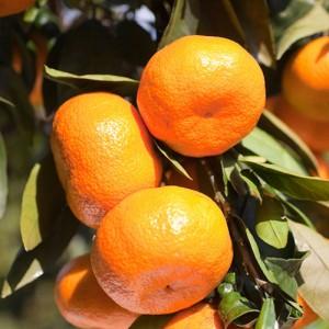 Armstrong Satsuma Orange Tree