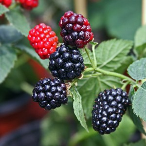 Nachez Thornless Blackberry Plant