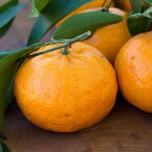 Brown Select Satsuma Orange Tree