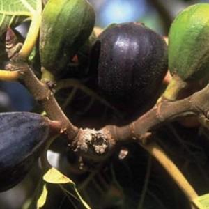 LSU Purple Fig Tree
