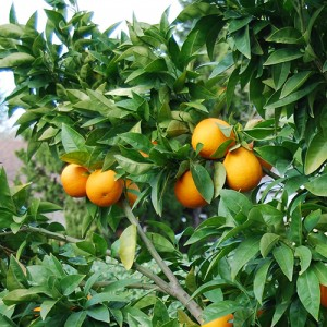 Moro Blood Orange Tree