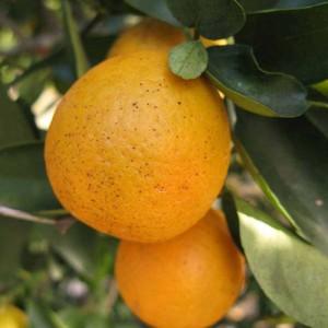 Orangequat Tree