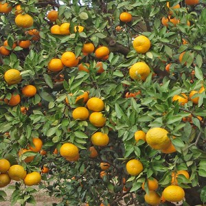 Saint Anne Satsuma Orange Tree