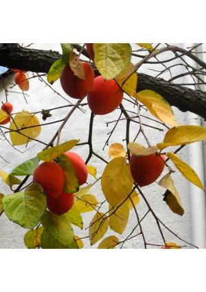 Hachiya Persimmon Tree