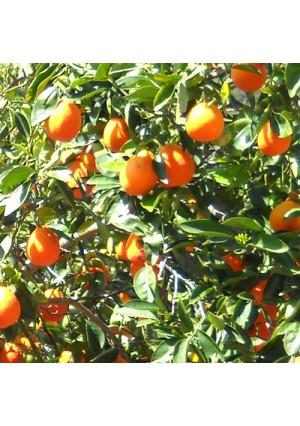 Honeybell Tangelo Tree