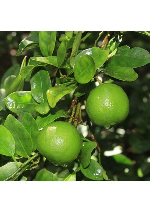 Key Lime Tree