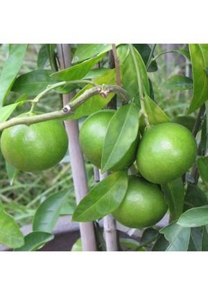 Limequat Tree