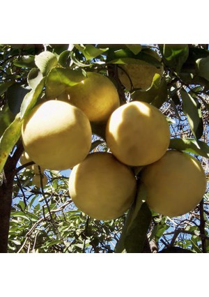 Marsh Grapefruit Tree