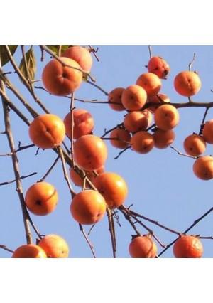 Suruga Persimmon Tree