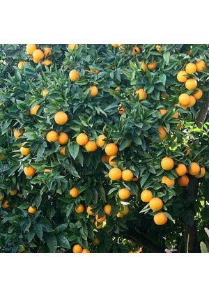 Valencia Orange Tree