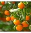 Clementine Tree
