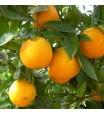Louisiana Sweet Orange Tree