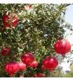 Wonderful Pomegranate Tree