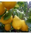 Ponderosa Lemon Tree