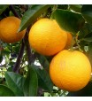 Cara Cara (Red Navel) Orange Tree