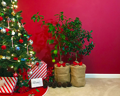Gift Wrapped Citrus Trees near Christmas Tree.