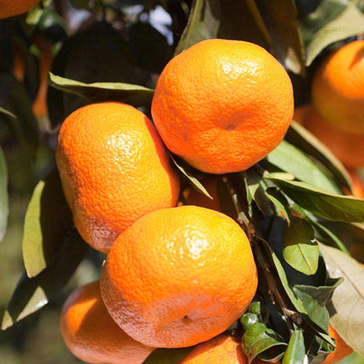3 4 Year Old Ft Armstrong Satsuma Orange Tree
