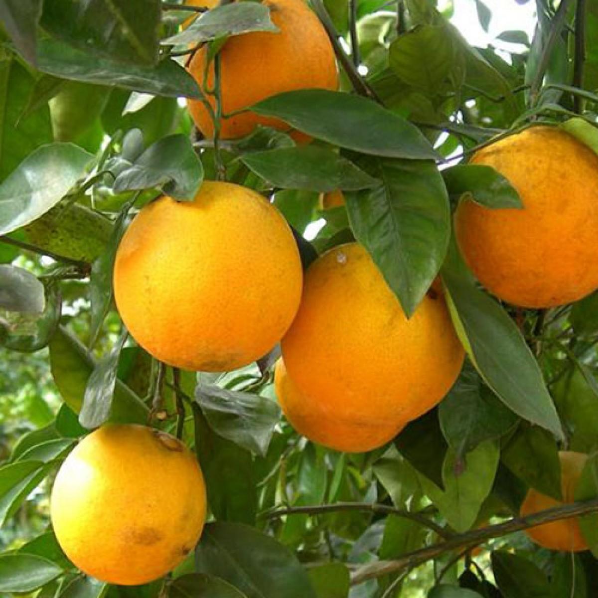 2 3 Year Old Louisiana Sweet Orange Tree