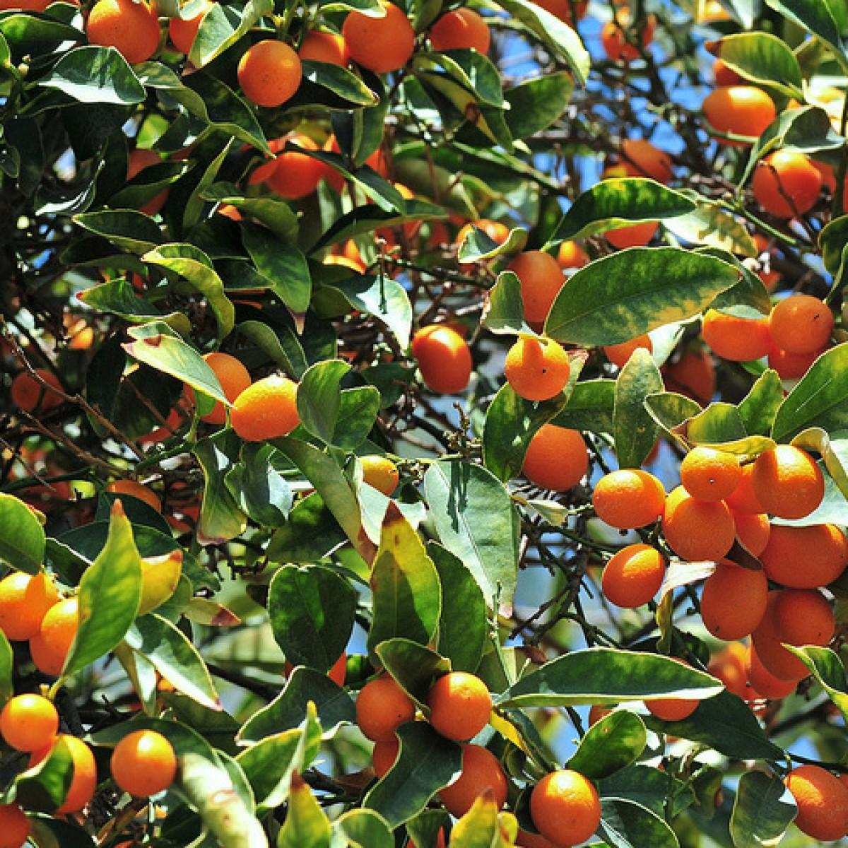 4 5 Year Old 4 5 Ft Nagami Kumquat Tree