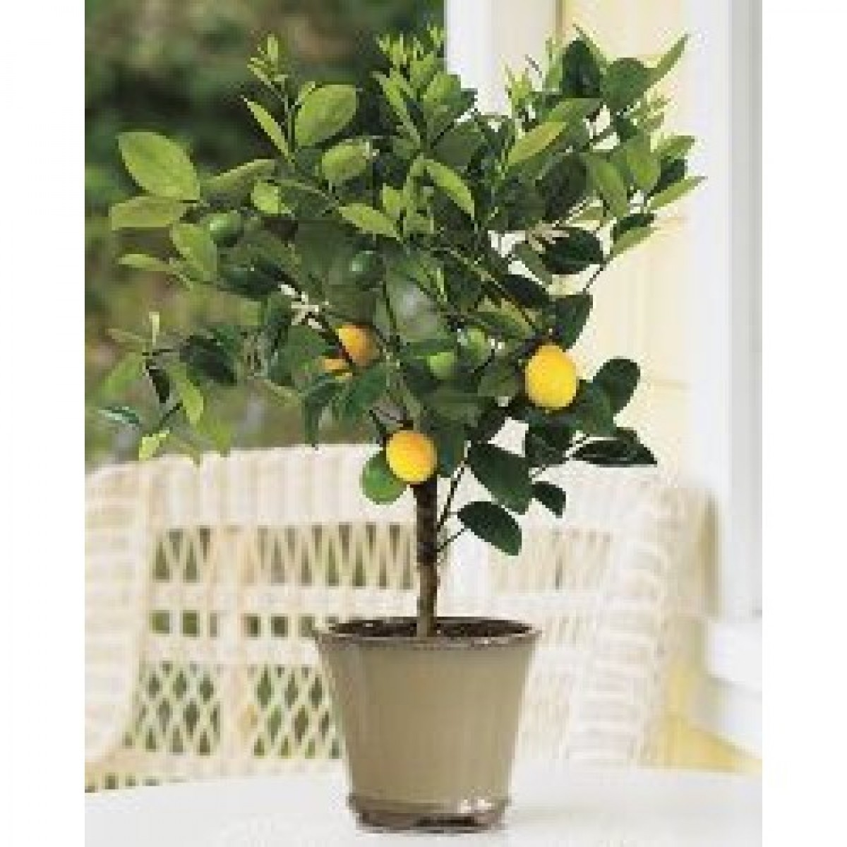 Meyer Lemon Tree 3 4 Year Old Lemoncitrustree