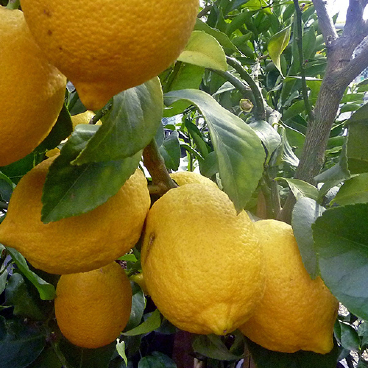 Growing Lemon Trees In Containers