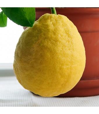Baboon Lemon Tree