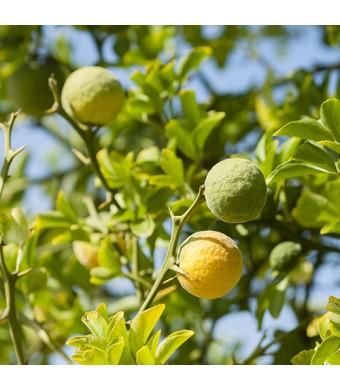 Bergamot Orange Tree