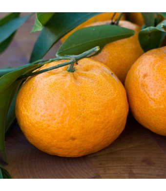 Brown Select Satsuma Orange Tree