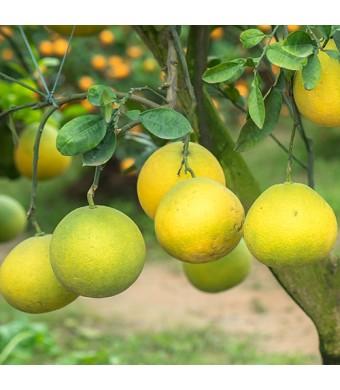 Hirado Pummelo Tree