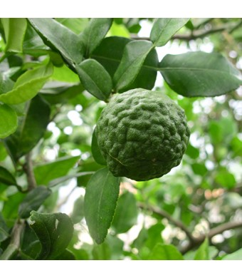 Kaffir Lime Tree