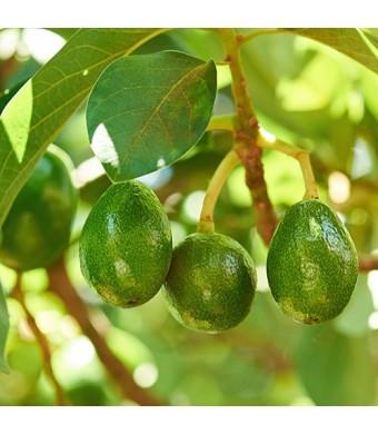 Lila Avocado Tree