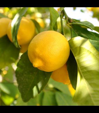 Lisbon Lemon Tree