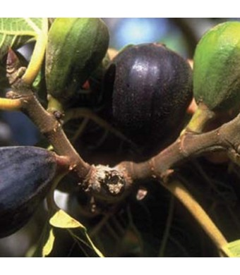 LSU Purple Fig Tree