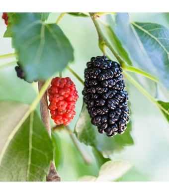 Dwarf Everbearing Mulberry Tree