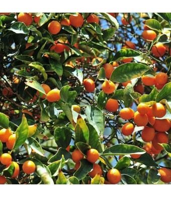 Nagami Kumquat Tree