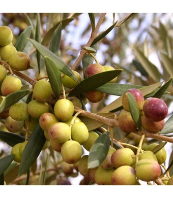 Arbequina Olive Tree