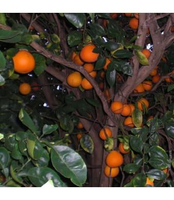 Orlando Tangelo Tree
