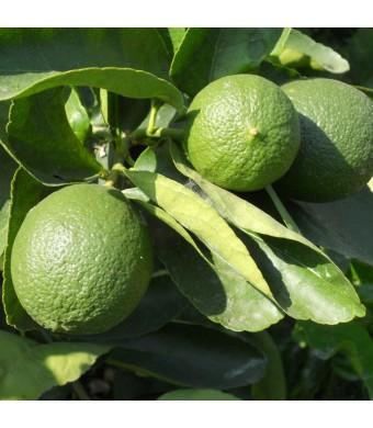 Persian Lime Tree
