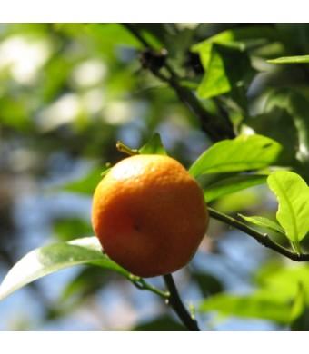 Sun Burst Tangerine Tree